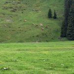 kuehe_alpe1